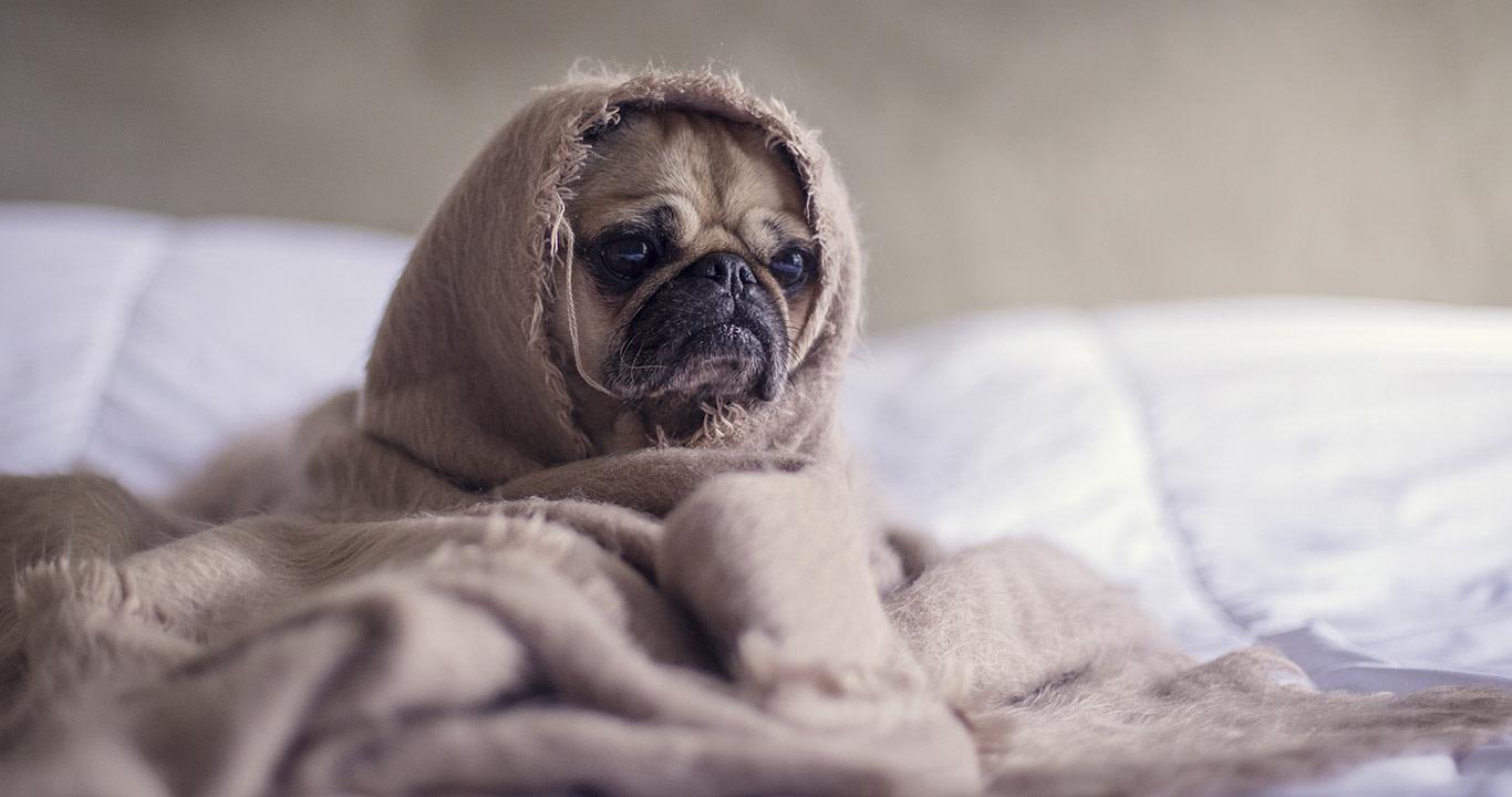 Imagen de un perrito pug con cara de estar con estrés